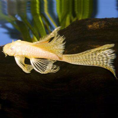 Longfin albino bristlenose