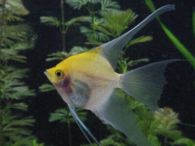 Angel / Angelfish