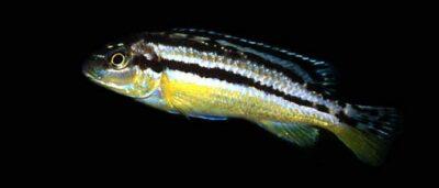 Golden mbuna